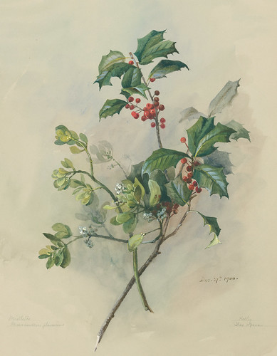 American Holly and Oak Mistletoe | by Brooklyn Botanic Garden