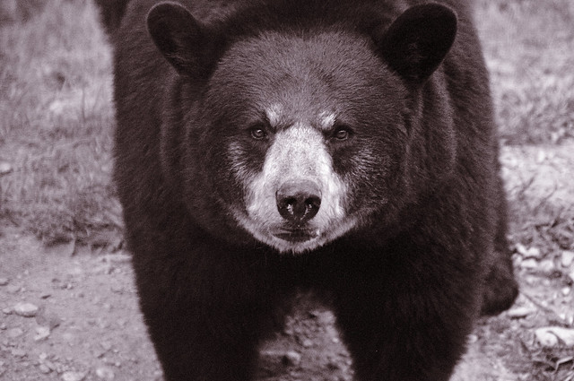 angry bear black and white - photo #27
