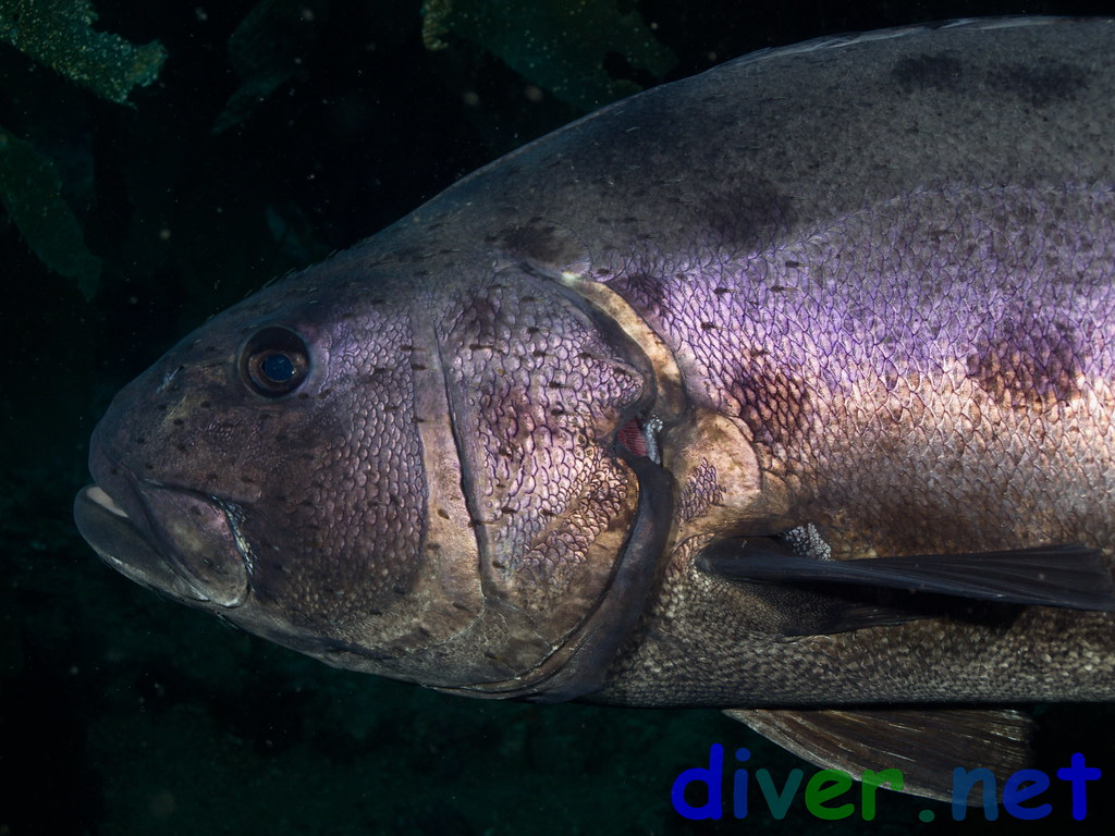 Stereolepis gigas (Giant Black Sea Bass) - Olympus E-520 ...