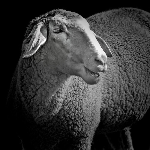 It's about sheep | by Joerg Marx