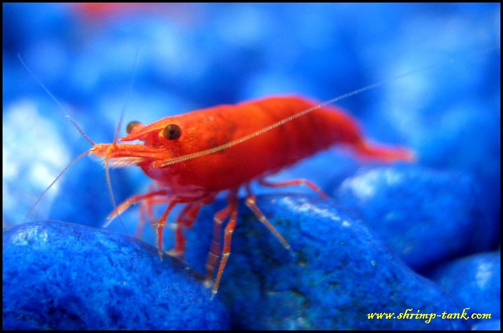 Shrimp-Tank.com Painted fire red shrimp looks at you | Flickr