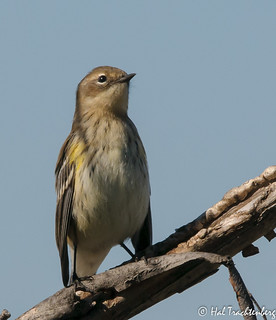 Yellow-rumped Warbler-2 | by Hal Trachtenberg