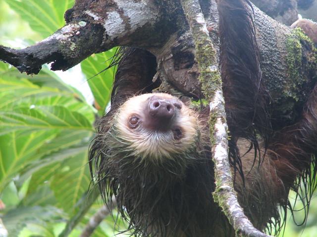Sloth Hanging Upside Down Shot of Upside Down Sloth
