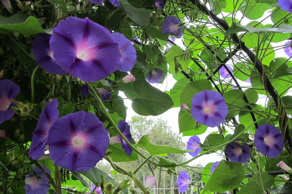 Ipomea morning glory ipomea violacea una pianta for Pianta rampicante con fiori viola a grappolo