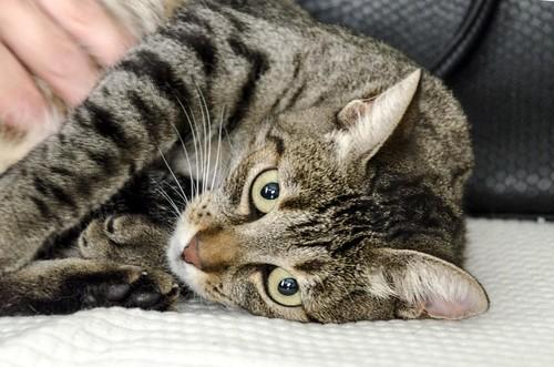 Susi, gata parda guapa y cariñosa esterilizada, nacida en Enero´15, en adopción. Valencia. ADOPTADA. 29787180251_b4ba2d7583