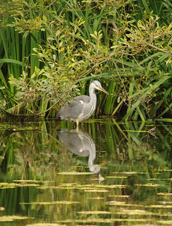 Heron | by Avieb21