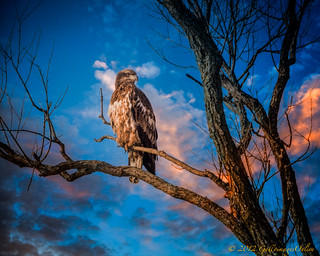 A Juvenile bald eagle suns itself at dawn on a cold winter morning | by Bridger Peaks Photography
