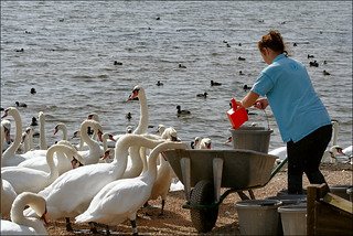Feeding Time For Swans | by Canis Major