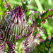 Thistle flower bud, enhanced a bit