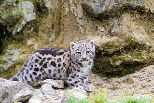 The cute Mohan again | by Tambako the Jaguar