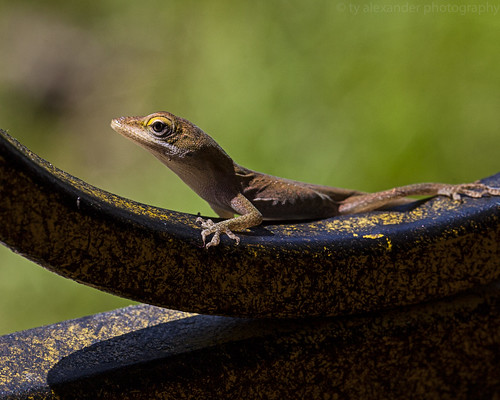 Anole | by ty alexander photography