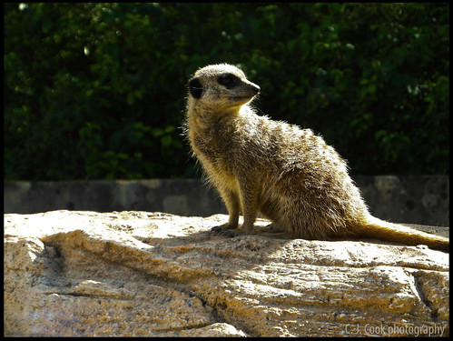 Meerkat 6 | by Canon_Fodder.