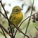 Prairie Warbler 3-20120919