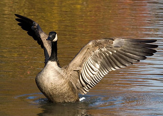 Mr. Canada Goose | by Robert Scott Photographyy