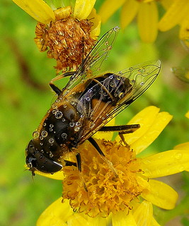 Fuji FinePix S5800-S800.Super Macro.Raining On A Drone Fly Feeding On A Ragwort Flower.September 20th 2012. | by Blue Melanistic.Twelve Million Views.
