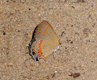 Red-banded Hairstreak butterfly | by GlennCantor (theskepticaloptimist)