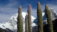 Huascarán Sur y Norte (6768m & 6655m) con flores