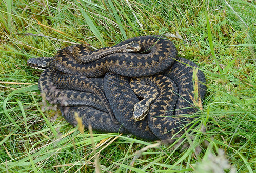 D300211 European Adders | by Nick Sidle