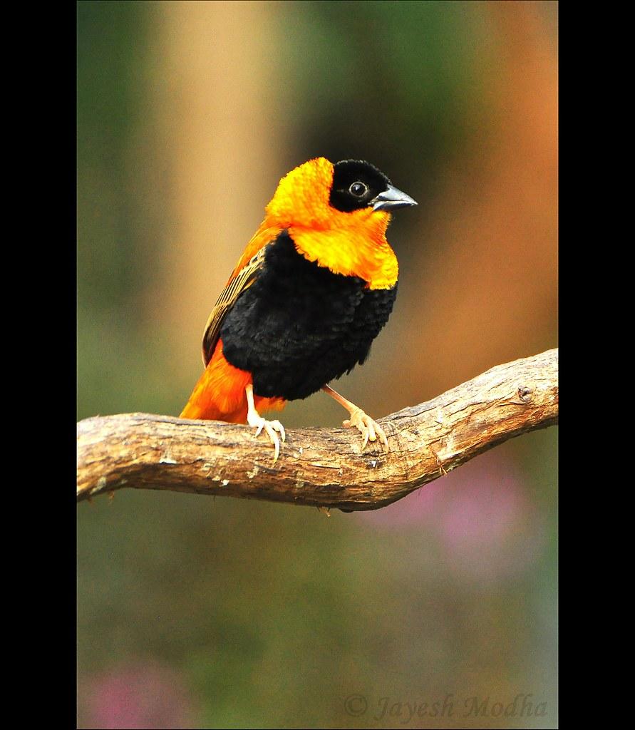 Orange Bishop Weaver Finch Info About This Bird Other