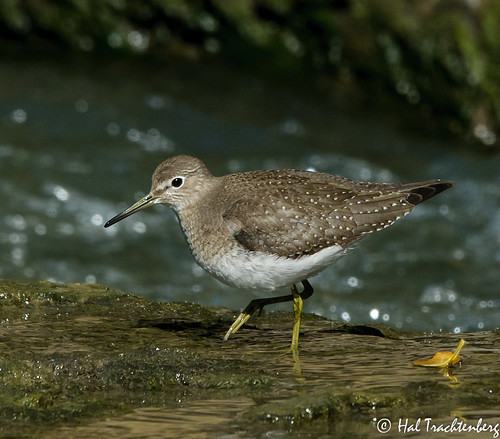 Solitary Sandpiper | by Hal Trachtenberg