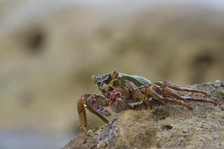 013 Crab | by rsriniwasan