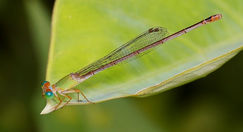 IMG_5109 damsel fly | by Troup1