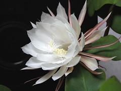 9月29日の誕生花は『ゲッカビジン(月下美人)』