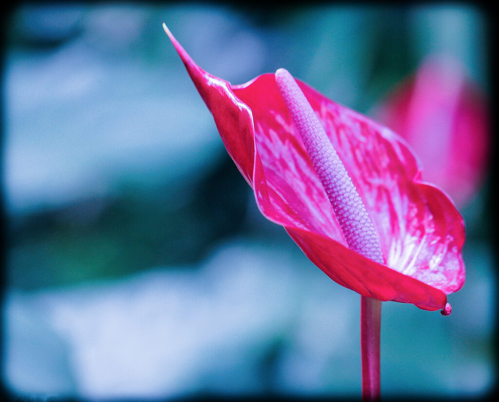 Pink Flamingo Flower Red And Pink Anthurium Flamingo Flowe