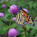 Monarch with Globe Amaranth