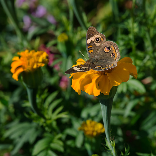 _MJA0330 Common Buckeye Butterfly | by macjammer