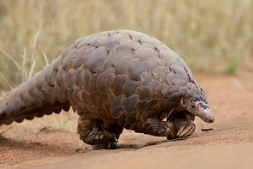 Giant ground pangolin | by Oregon State University