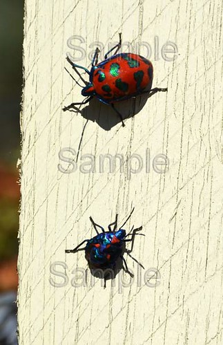 Harlequin beetles | by Anita Reay