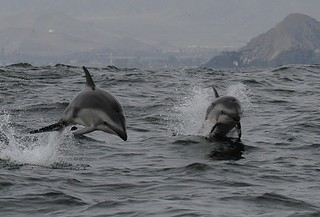 Dusky dolphins - Whale and dolphin watching with Nature Expeditions in Peru 4 | by stefanaustermuhle