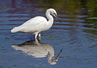 Egret_5155 | by Peter Warne-Epping Forest