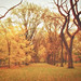 Autumn Elm Trees - Central Park - New York City