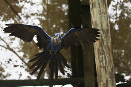 Hyacinth Macaw Flyover | by Mark Dumont