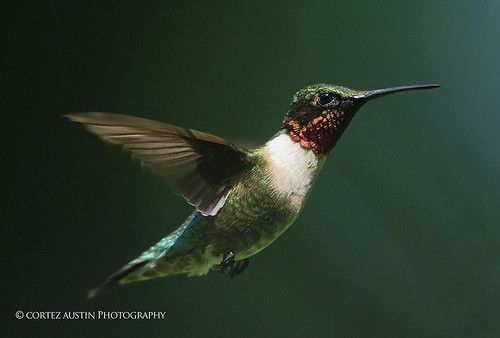 Ruby-throated_Hummingbird_PH5M2353 | by Cortez47