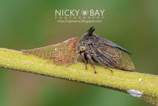 Treehoppers (Gargarini) - DSC_0178 | by nickybay