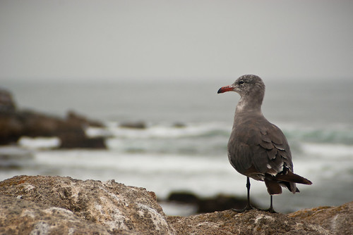Seagull on Monterey Bay | by millerdj