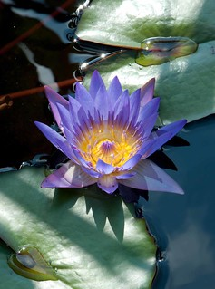 Nymphaea 'Tina' LG 9-30-12 4371 lo-res | by danceyoumonster