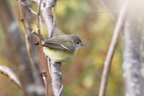 Bell's Vireo | by Doug Hitchcox
