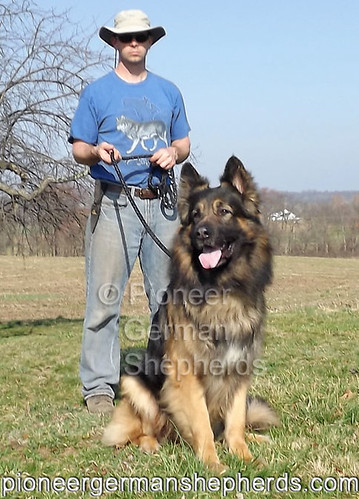 Largest German Shepherds - Ash | Largest German Shepherds, A ...
