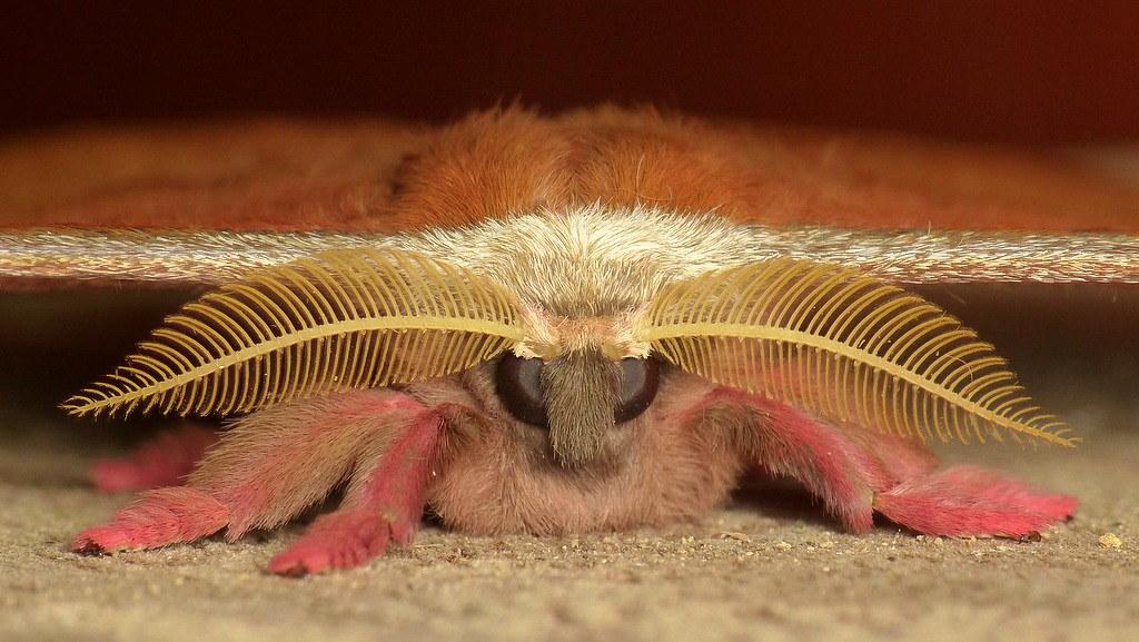 About >> Saturniid Moth, Copaxa decrescens or rufinans? Saturniidae… | Flickr