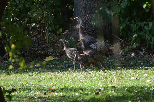 A Mother Turkey With Her Young - A Wildlife Art Print | by Stu Willard