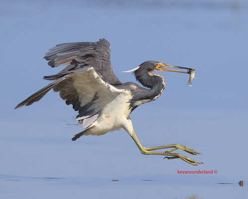 Tri Colored Heron Landing With Fish | by kevansunderland