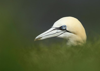 A Glimpse of a Gannet - Explored | by alison brown 35