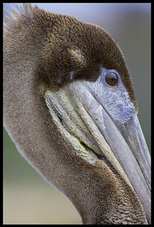 Brown Pelican Portrait | by E_Rick1502