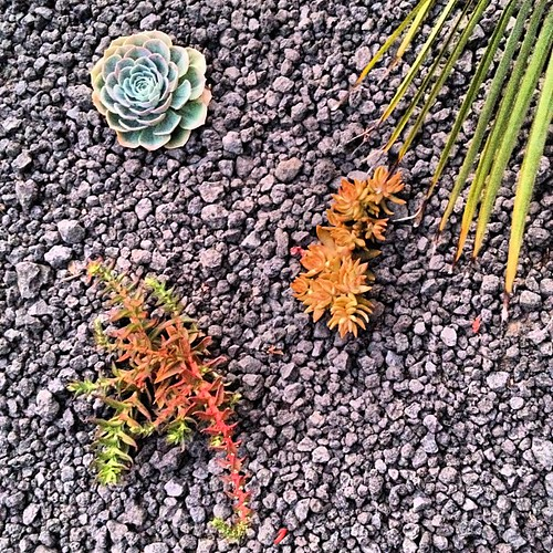 succulents and lava rock | by emilychang