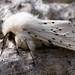 White Ermine, Spilosoma lubricipeda.220509