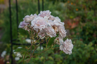 Pale pink roses | by KAHOONICA